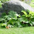 Rabarberilehed on kauni kujuga ja rohelised terve suve.