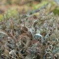 Islandi käokõrv ehk islandi käosamblik.