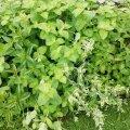 Noor aednik jagab väärtuslikku kogemust: ärge teie nii tehke! Sassis peenar ja taimed, mis kasvavad oodatust kiiremini