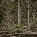 Kui metsafirmad saaks majandustegevust ehk veel ümber korraldada, siis paraku üraskikahjude ennetamiseks vajalikke raieid tuleb teha just samal ajal, kui linnud pesitsevad. Pärast on ürask juba uued metsaosad vallutanud ja sekkumiseks on hilja.