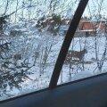 ФОТО   В Харьюмаа дерзкая рысь притащила свою добычу прямо во двор дома!