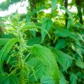 Kõrvenõges on hea ravimtaim, aga sellest saab valmistada ka taimekaitsevahendit ja väetist.
