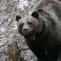 Talveunest ärganud karu ründas Soomes jahimeest