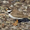 Aasta linnud saabusid Eestisse rekordiliselt vara
