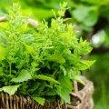 Melissilehti ja -võrseid kogutakse enne taime õitsemist. Õitsemise ajal ja pärast seda toimeainete koostis muutub, muutes melissi lõhna ja maitse lausa ebameeldivaks.