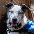 VIDEO KANGELASTEST | Imelised koerad, kes aitavad surma trotsides Austraalia tulemöllust koaalasid päästa
