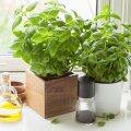 Maitsetaimed võib panna kasvama pottidess