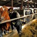 Kui 1990. aastatel oli meil üle 700 000 veise, siis praegu on veiseid vaid 253 000, neist piimalehmi 84 000.