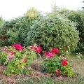 Kuigi roositaimed avaldavad muljet igal juhul, on nad sobivates kooslustes veelgi ilusamad.