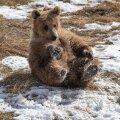 ВИДЕО   Ничего необычного: просто летом в России медведь зашел покататься со снежной горки