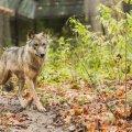 Волк из Пярнумаа отправился за невестой в Россию и был подстрелен охотником