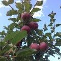 Septembri tööd puuvilja- ja marjaaias
