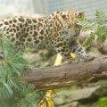 VIDEO ja FOTOD: Vaata, kuidas leopardipoeg Baruto sõprade kingitud kiike uudistab!