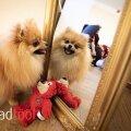 Pomeranian Lexi sulatab ka kõige tõsisemad inimesed.