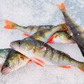 Hea ahvenanoos on kalamehe jaoks märk talve lõpu lähenemisest.