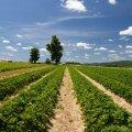 Põhuga multšitud maasikaistandus. Kui seda poleks tehtud, tuleks nobenäppudel usinasti rohida.