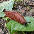 Täiskasvanuna 7–18 cm pikkune lusitaania teetigu on suurem kui enamik Eesti nälkjaid. Ära tunneb ta ruuge varjundi (tumepruunist punaka, oranži, kollaka ja beežini) ning hingamisava asukoha järgi mantlikilbi eesosas.