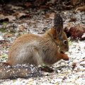 Leili metsalood   Kevadet tasub otsida linnurahva tegemistest. Trepil istudes tabasin nende toitu mekkinud orava