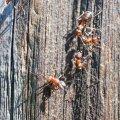 Sipelgatele ei meeldi vürtsikad lõhnad.