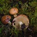 Lambatatik äratab oma kena pruuni kübaraga kindlasti seenelise tähelepanu.