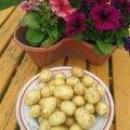Esimesed kartulid. Kasvatatud kasvuhoones ja alguses katteloor ka peale. Korjatud üleeile