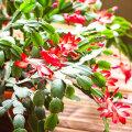 VIDEO   Väärt nõu aednik Jaan Mettikult! Kuidas saada jõulukaktus õitsema?