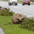 Maast välja kaevatud puu Sõle tänaval