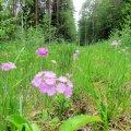 Leili metsalood | Kullerkupud, pääsusilmad – lapsepõlve armsad metsalilled