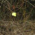 Kollane liblikas