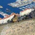 Gibraltari legendiga seotud ahvid pole põlvkondadega unustanud elu päris looduses ning ahvide igatsevaid pilke kaugusse tabab iga tähelepanelik vaataja.