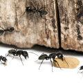 Kuidas saada lahti sipelgatest?