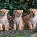 Lõvikutsikad