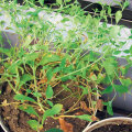 Ka aknalaual saab edukalt suhkrulehte kasvatada.