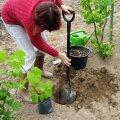 Istutamine. Juurepalli ümbert eemaldatakse kilekott, juurte ümbrusse pannakse paremat mulda.