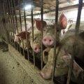 """Ajalooline päev farmiloomadele: Euroopa kodanikualgatus """"Lõpp puuriajale!"""" kogus üle 1,5 miljoni allkirja"""