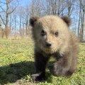 Põlvamaal külastas telkijaid karu