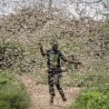 В Сомали объявили чрезвычайное положение из-за нашествия саранчи