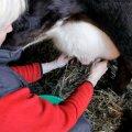 Endine talumees selgitab: oskusteta või laisk lüpsja on korraliku karja surm!