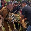 Ohustatud Sumatra tiigrid põgenesid Indoneesia loomaiast, tappes talitaja