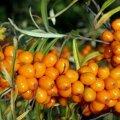 Saladuslik ärimees rajab Hiiumaale Euroopa suurimat maheastelpaju istandust