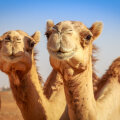 VIDEO | Hiina vana oaasilinna Dunhuangi lähedal alustas tööd maailma esimene valgusfoor kaamelitele