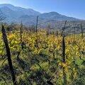 Kahheetia veini renessanss: võimsad maitsepommid asuvad üsna pea vallutama maailma veiniklaase