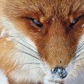 """""""Rebase lähiportree. See foto ei ole lõigatud, vaid looma on pildistatud hästi lähedalt, kasutades telefoni 10x zoomi. Pildistatud Tartumaal.R"""