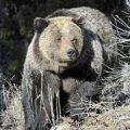 USA eraloomaaiast põgenes kümneid metsloomi: karud, lõvid, tiigrid