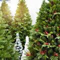 СРАВНЕНИЕ ЦЕН | Елка или пихта? Смотрите, где выгоднее всего приобрести живое дерево на Рождество и Новый год