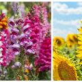 15 kaunimat suvelille, mida algaval aiahooajal kindlasti kasvatada