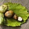 Kes närib aias pähkleid ja mida ette võtta?