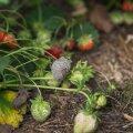 Nakatunud maasika leidmisel tuleb see kohe põõsast noppida ja põllult ära viia, et haiguse levikut pidurdada.