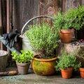 Potti istutamisel muutub taime toitaine-, mulla- ja valgusrežiim, mis põhjustab talle stressi.