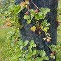 Vaata, kuidas ehitada maasikatorn!
